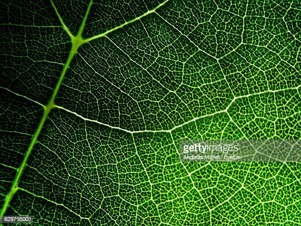Full Frame Shot Of Fresh Green Leaf Veins