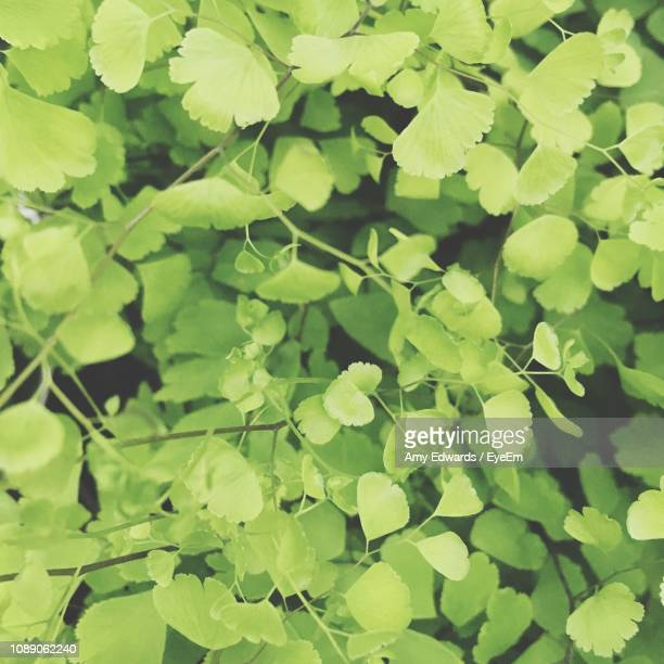 full frame shot of fresh green leaves - amy shamrock stock pictures, royalty-free photos & images