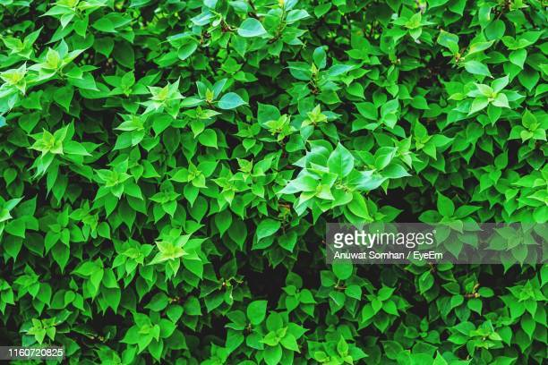 full frame shot of fresh green plants - anuwat somhan stock photos and pictures