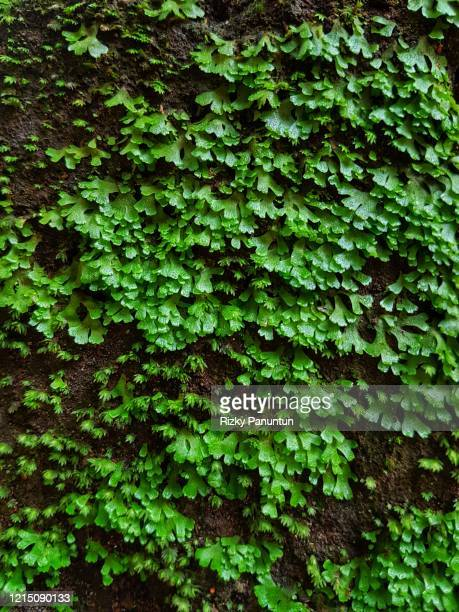 full frame shot of fresh moss on the old wall - moos stock-fotos und bilder
