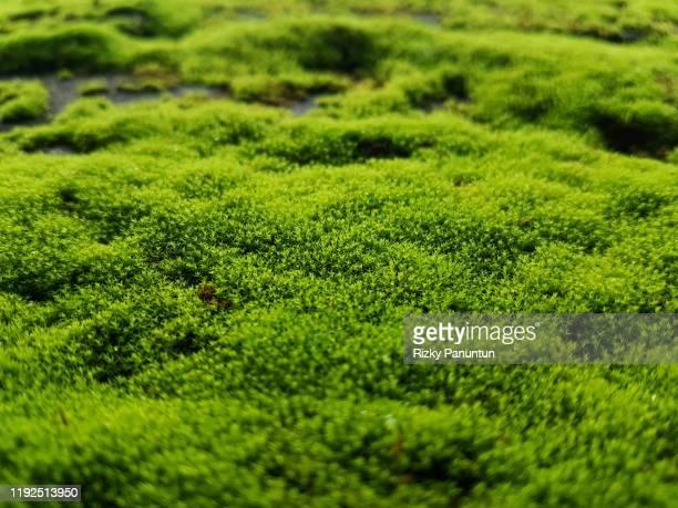 full frame shot of fresh moss - コケ ストックフォトと画像