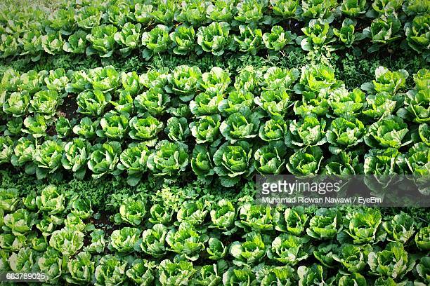 full frame shot of fresh organic cabbages on field - organic farm stock photos and pictures