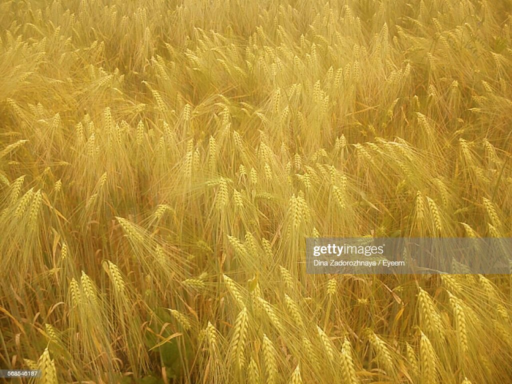 Full Frame Shot Of Fresh Wheat Field : Stock Photo