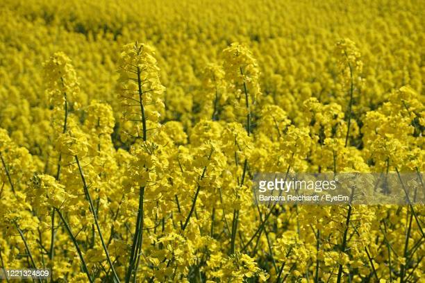 full frame shot of fresh yellow flower field - canola oil stock pictures, royalty-free photos & images