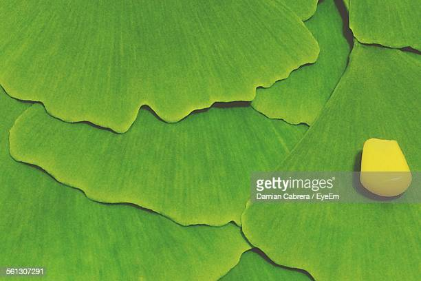 Full Frame Shot Of Ginkgo Biloba Leaves