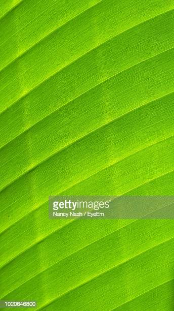 full frame shot of green leaf - nancy green stock pictures, royalty-free photos & images