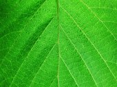 http://www.istockphoto.com/photo/green-leaves-background-gm668592606-122124041