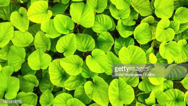 full frame shot of green leaves - wimol wongsawat stock photos and pictures