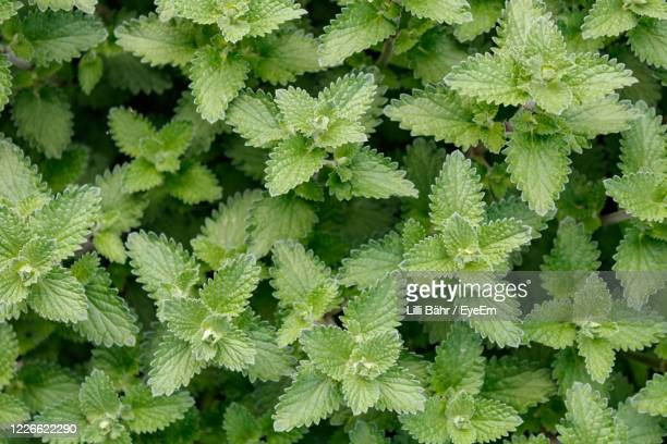 full frame shot of green leaves - catmint stock pictures, royalty-free photos & images