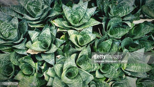 full frame shot of green leaves - sanseveria trifasciata stock pictures, royalty-free photos & images