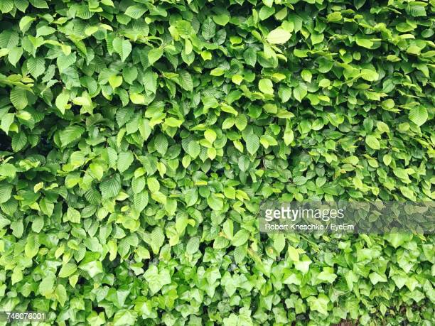 Full Frame Shot Of Hedge Leaves