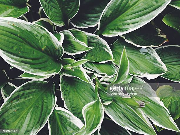 Full Frame Shot Of Hosta Plant