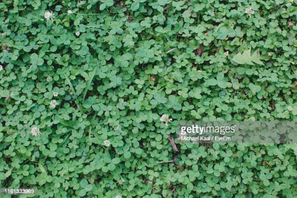 full frame shot of ivy growing on field - kaal stock pictures, royalty-free photos & images