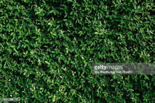 full frame shot of ivy growing on land - hedge stock pictures, royalty-free photos & images