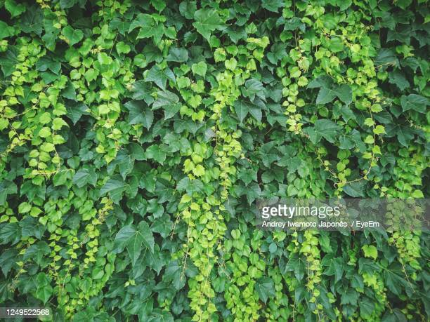 full frame shot of ivy growing on plant - japonês stock pictures, royalty-free photos & images