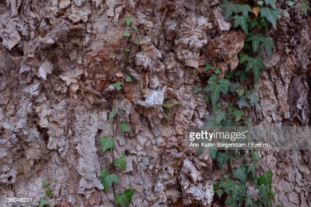 Full Frame Shot Of Ivy Growing On Tree Trunk