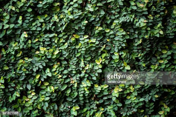 full frame shot of ivy wall - vine stock pictures, royalty-free photos & images