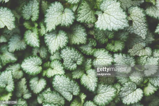 "Full frame shot of Lamium maculatum ""Beacon Silver"", deadnettle."