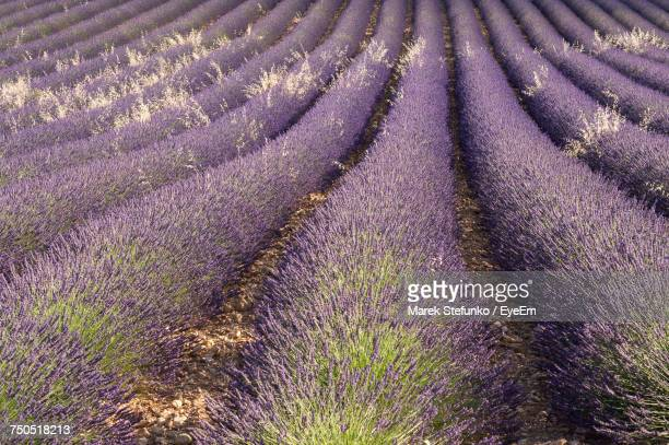 full frame shot of lavender field - marek stefunko stock photos and pictures
