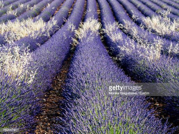 full frame shot of lavender growing in field - monika gregussova stock pictures, royalty-free photos & images