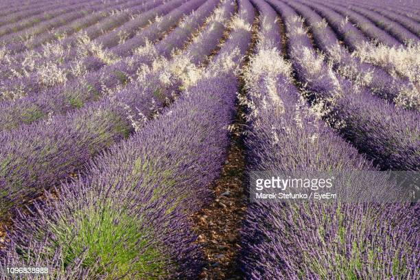 full frame shot of lavender growing on field - marek stefunko imagens e fotografias de stock