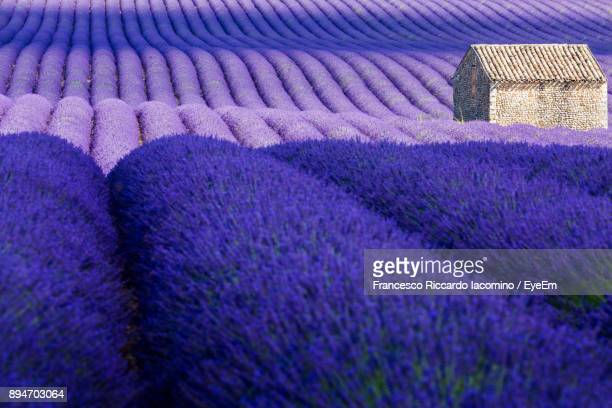 Full Frame Shot Of Lavenders Growing In Farm