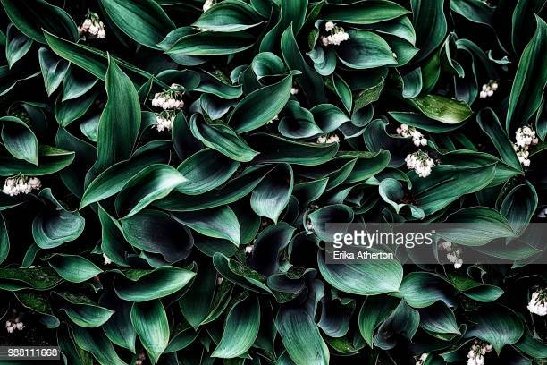 full frame shot of lily of valley (convallaria majalis) - lily of the valley stock pictures, royalty-free photos & images