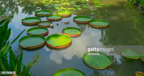 full frame shot of lotus leaves floating on pond - singapore botanic gardens stock photos and pictures