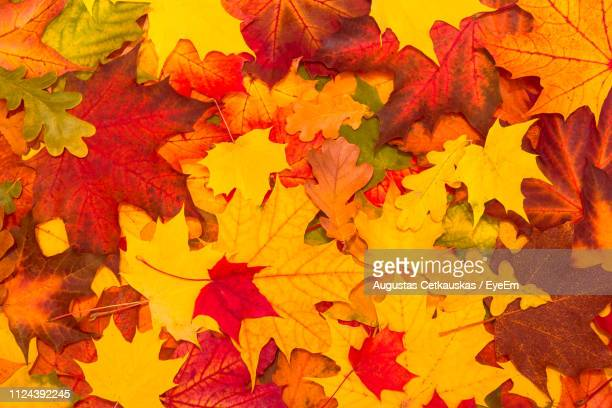 full frame shot of maple leaves during autumn - autumn falls stock pictures, royalty-free photos & images