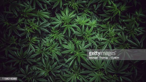 full frame shot of marijuana plants in garden - cannabis stock pictures, royalty-free photos & images