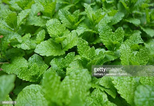 Full Frame Shot Of Mint Leaves