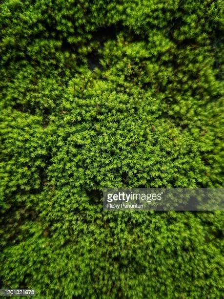 full frame shot of moss growing on wall - コケ ストックフォトと画像