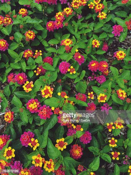 Full Frame Shot Of Multi Colored Flowers Blooming In Park
