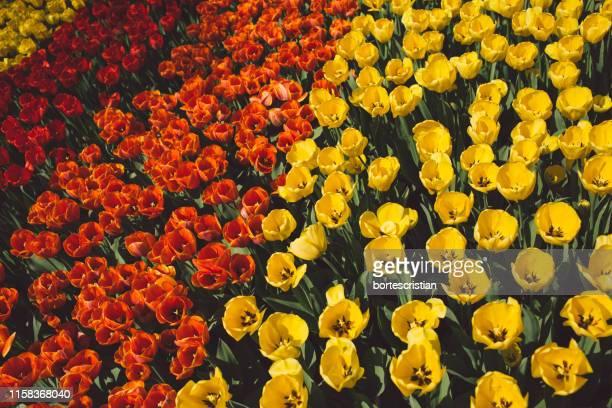 full frame shot of multi colored tulips in field - bortes imagens e fotografias de stock