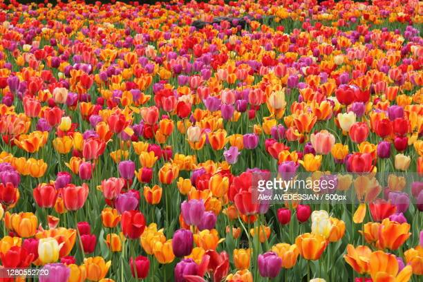 full frame shot of multi colored tulips,montreal,quebec,canada - tulipe photos et images de collection