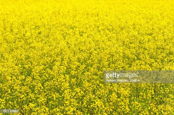 Full Frame Shot Of Oilseed Rape Field