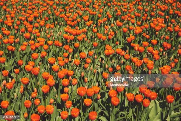 full frame shot of orange flowers on field - bortes foto e immagini stock