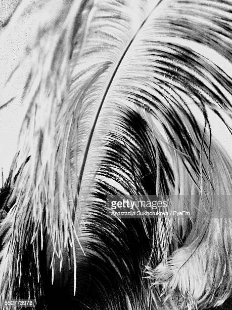 Full Frame Shot Of Ostrich Feather