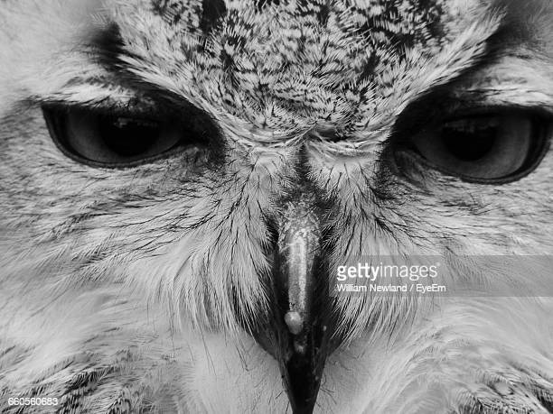 Black And White Owl Stockfotos En Beelden Getty Images