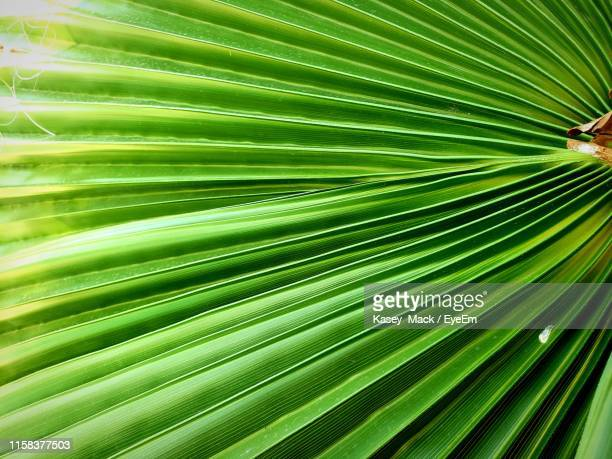 full frame shot of palm leaf - mack stock pictures, royalty-free photos & images