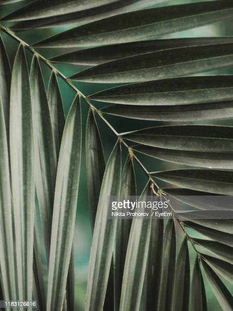 full frame shot of palm leaves - date palm tree stock pictures, royalty-free photos & images