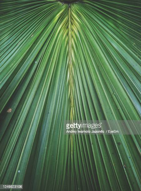 full frame shot of palm tree leaves - japonês stock pictures, royalty-free photos & images
