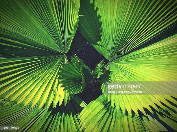 full frame shot of palm tree leaves - sarawak state stock pictures, royalty-free photos & images