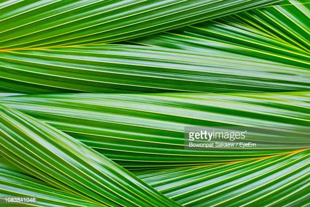 full frame shot of palm tree - coconut palm tree stock pictures, royalty-free photos & images
