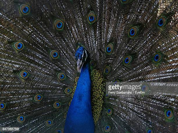 full frame shot of peacock dancing with fanned out feathers - out of frame stock pictures, royalty-free photos & images