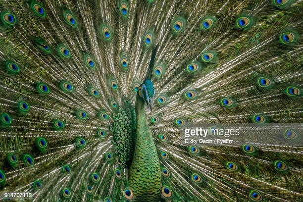 full frame shot of peacock feathers - vanity stock pictures, royalty-free photos & images