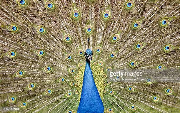 full frame shot of peacock with fanned out - out of frame stock pictures, royalty-free photos & images