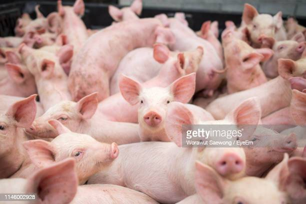 full frame shot of pigs - pig stock pictures, royalty-free photos & images