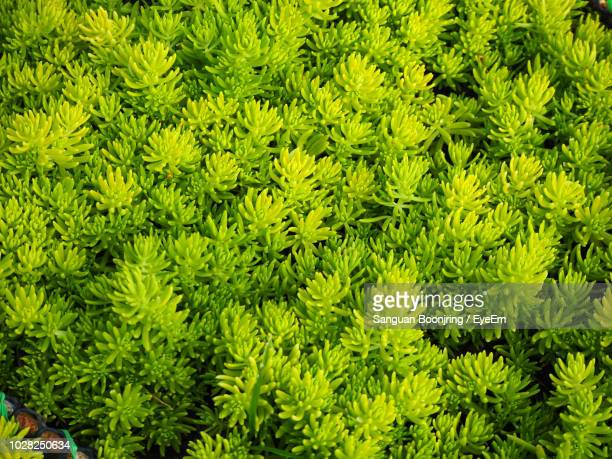 full frame shot of pine tree - pinaceae stock pictures, royalty-free photos & images