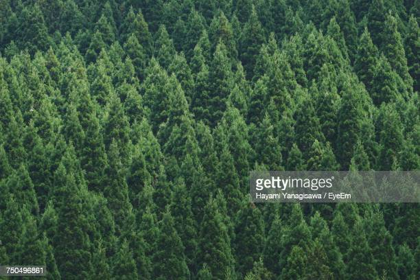 full frame shot of pine trees in forest - evergreen tree stock pictures, royalty-free photos & images